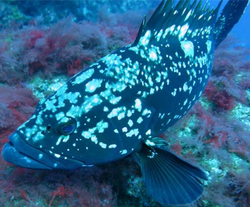 Peixe Garoupa